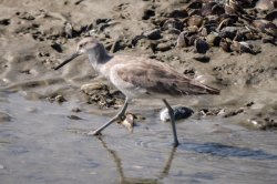Folly Beach Bird Walk